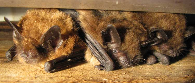 Brown bats in an attic
