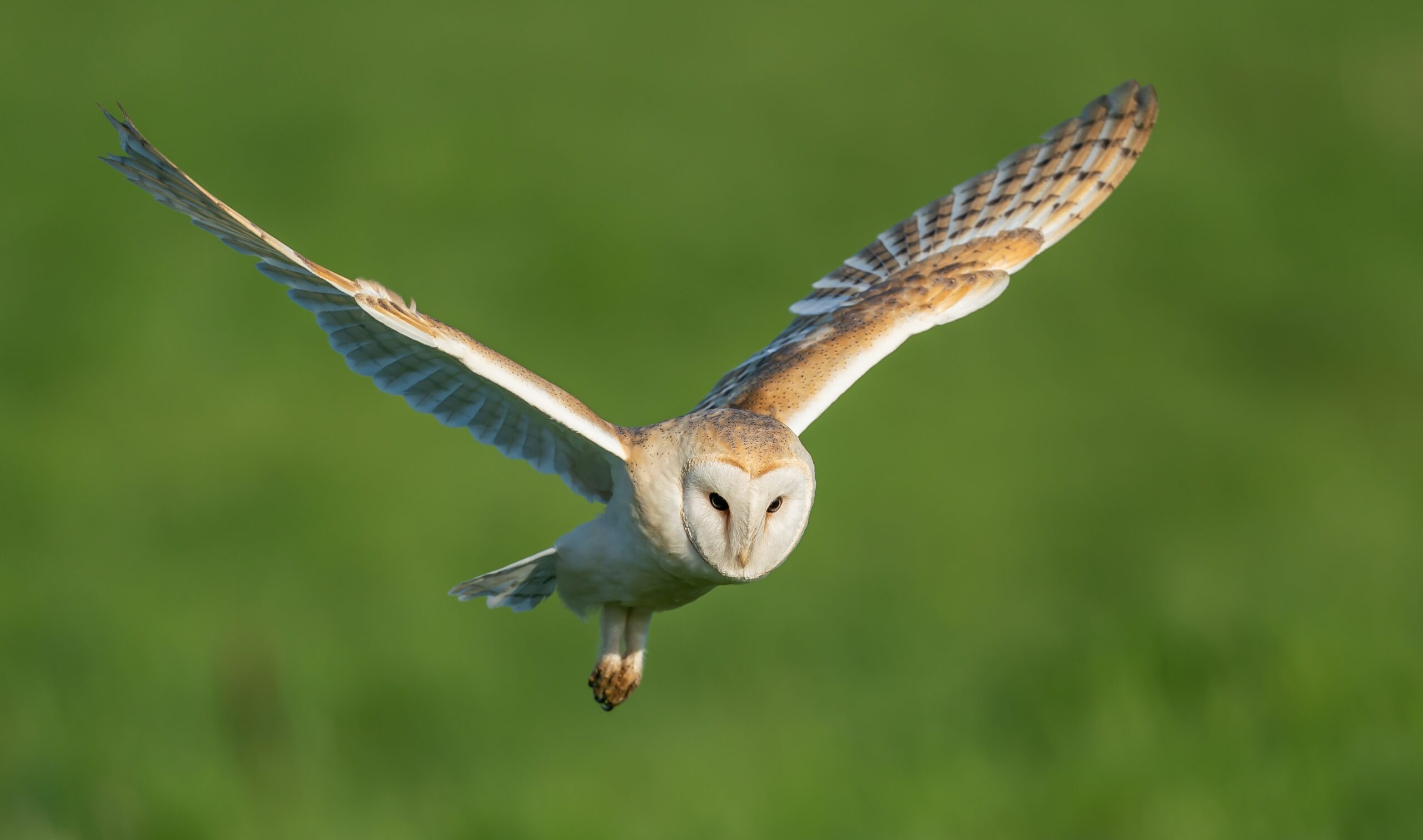 Barn owl hunting rat in Seattle suburb