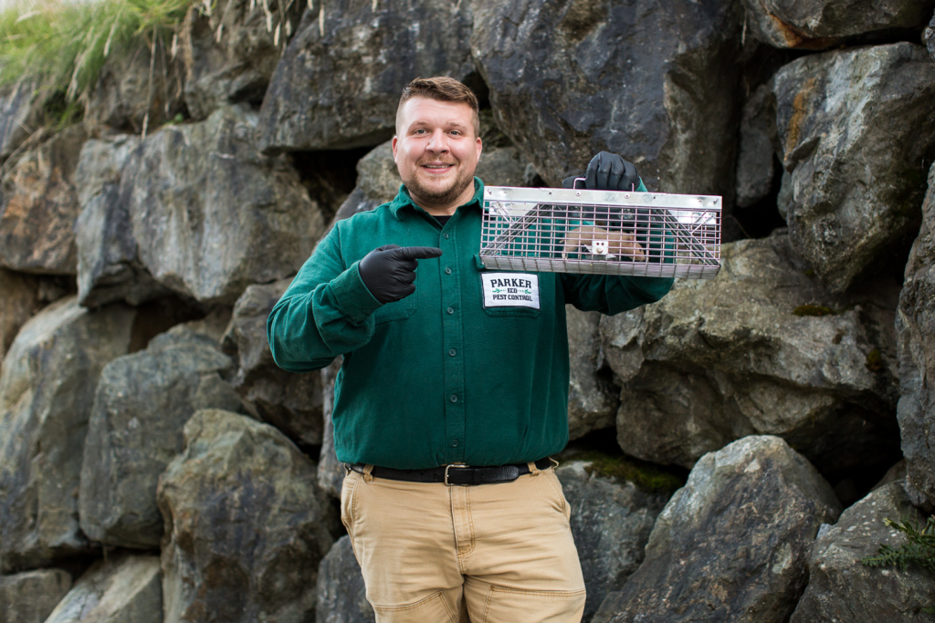 man catching rat in poison free rodent cage, pest control bellevue